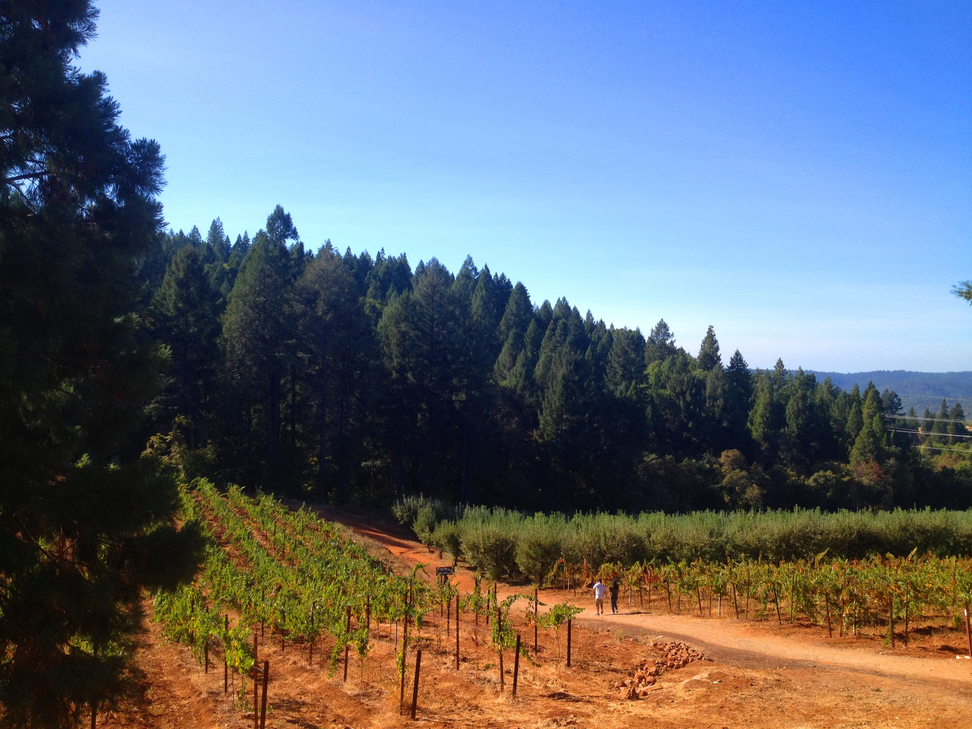 Apple Hill Vines
