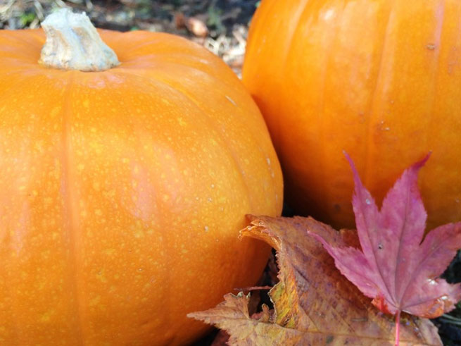 pumpkins at harvest time with fall leaves at lake tahoe